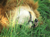 Lion sleeping — Stock Photo