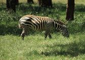 Zebra eating — Stock Photo