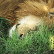 A sleeping lion — Stock Photo