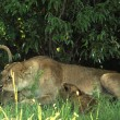 Stock Photo: Lioness with her cubs