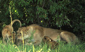 A lioness with her cubs — Stock Photo