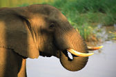 Sun dappled African Elephant — Stock Photo