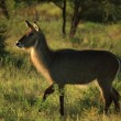 Common waterbuck — Stock Photo #31770761