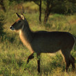 Common waterbuck — Stock Photo