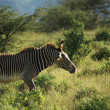 Male Grevy's Zebra — Stock Photo #31771847