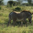 Single Grevy's Zebra — Stock Photo #31772193