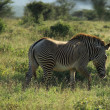Single Grevy's Zebra — Stock Photo