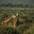 Canoodling giraffe — Stock Photo #31772407