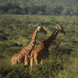 Two African giraffe — Stock Photo