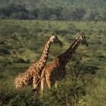 due giraffe africane — Foto Stock #31772537