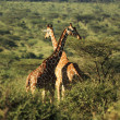 Two Reticulated giraffe — Stock Photo #31772557