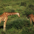 Two giraffe feeding — Stock Photo #31772997