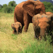 Stock Photo: Trio of elephants