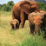 A trio of elephants — Stock Photo