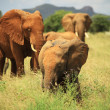 Herd of African elephants — Stock Photo