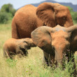Herd of elephants — Stock Photo