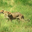 Stock Photo: Cheetahs running