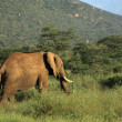 Elephant walking through grass — Stock Photo #31774835