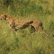Stock Photo: Injured cheetah