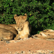 Panoramic view of a family of lions sleeping — Stock Photo