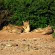 Stock Photo: Basking lions