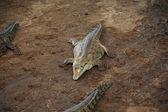 Crocodile — Photo