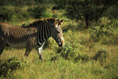 Zebra walking through the grass — Photo