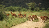A group of gazelle's — Stockfoto