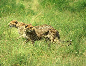 Cheetahs running — Stock Photo