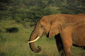 African elephant eating — Stock Photo