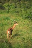 Gazelle eating — Stock Photo
