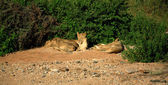 Basking lions — Stock Photo