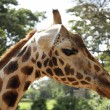Close up to Giraffe — Stock Photo #31813053