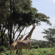 Giraffes in Nairobi reserve — Stock Photo