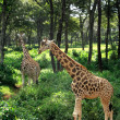 Постер, плакат: Two Giraffe strolling