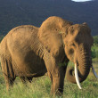 Elephant eating grass — Stock Photo #31818967