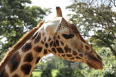 Close up to a Giraffe — Foto de Stock
