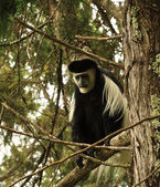 Lonely colobus monkey — Stock Photo