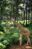 Zwei giraffe bummel — Stockfoto