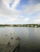 Ducks on Tjornin Lake — Stock Photo