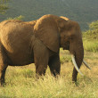 Elephant in Kenya — Stock Photo #31832381