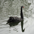 Black swan — Stock Photo #32458363