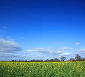Yellow rapeseed field — Stock Photo