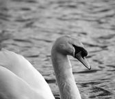 White swan side on in black & white — Stock Photo