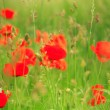 Red poppies — Stock Photo #32460649