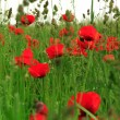 Field of poppies — Stock Photo #32460723