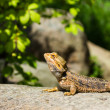 Great Bearded Dragon — Stock Photo