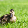 Duckling — Stock Photo #29022009