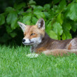 Red Fox — Stock Photo #29221721