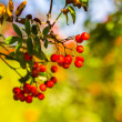 Sorbus aucuparia — Stock Photo